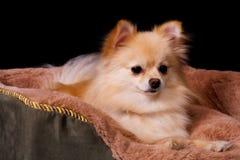 Pomeranian in Repose Stock Photo