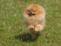 pomeranian running för hund fotografering för bildbyråer