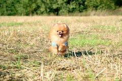 pomeranian running för hund Stående av den gulliga pomeranian hunden Autumn Dog förfölja sätter in in Royaltyfri Fotografi