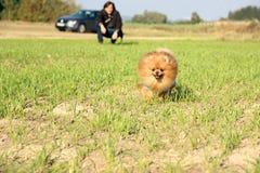 pomeranian running för hund Stående av den gulliga pomeranian hunden Autumn Dog förfölja sätter in in Royaltyfri Foto