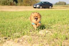 pomeranian running för hund Stående av den gulliga pomeranian hunden Autumn Dog förfölja sätter in in Arkivbilder
