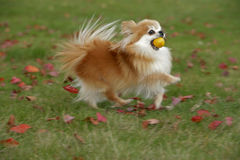 Pomeranian running, playing with ball Royalty Free Stock Photos