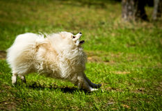Pomeranian runs for the ball Stock Photography