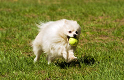 Pomeranian runs for the ball Royalty Free Stock Photography