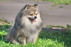 Pomeranian Pomeranian Sable Cream Screws close-up. Spitz is a decorative breed of dogs. Spitz breeds of dogs, characterized by sharp ears, upturned tail and royalty free stock photos