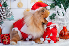 Pomeranian in santa clothing on a background of Christmas decorations Stock Images