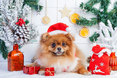 Pomeranian in santa clothing on a background of Christmas decorations Royalty Free Stock Photography