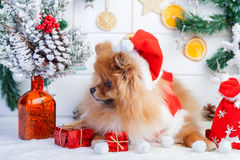 Pomeranian in santa clothing on a background of Christmas decorations Stock Photography