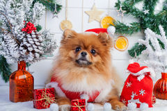 Pomeranian in santa clothing on a background of Christmas decorations Royalty Free Stock Image