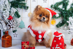 Pomeranian in santa clothing on a background of Christmas decorations Royalty Free Stock Photos