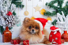 Pomeranian in santa clothing on a background of Christmas decorations Royalty Free Stock Images
