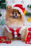 Pomeranian in santa clothing on a background of Christmas decorations Royalty Free Stock Photo
