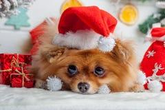 Pomeranian in santakleding op een achtergrond van Kerstmisdecoratie Royalty-vrije Stock Afbeeldingen