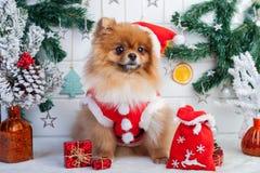 Pomeranian in santakleding op een achtergrond van Kerstmisdecoratie Stock Foto