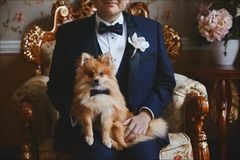 Pomeranian sitter den lilla hunden i fluga på knä av brudgummen royaltyfria foton