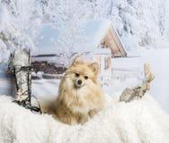Pomeranian sitting on fur rug in winter scene, portrait. Pomeranian sitting on fur rug in winter scene Stock Photos