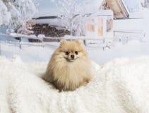 Pomeranian sitting on fur rug in winter scene, smiling. Pomeranian sitting on fur rug, winter scene, smiling Stock Photo