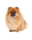 Pomeranian Sitting Looking Forward Royalty Free Stock Photography