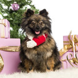 Pomeranian sitting and wearing a Christmas scarf Stock Photography