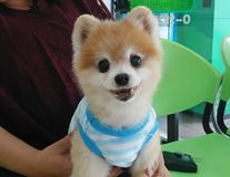 Pomeranian Small dog breed this species one of the pet royalty free stock image