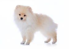 Pomeranian som ansar hunden på vit bakgrund Royaltyfria Foton