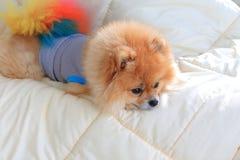Pomeranian som ansar hundkläderkläder på säng Arkivbilder