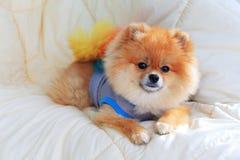 Pomeranian som ansar hundkläderkläder på säng Royaltyfri Foto