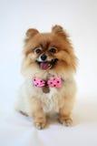 Pomeranian sorridente con l'arco dei puntini di Polka Fotografie Stock Libere da Diritti
