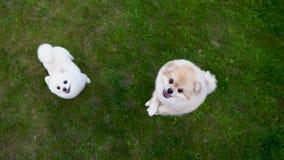 Pomeranian spitz δύο στην πράσινη χλόη Ένα σκυλί πηδά προς τα πάνω και αποφλοιώνει απόθεμα βίντεο