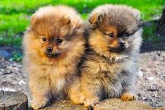 Pomeranian spitz δύο κουτάβι στη χλόη Στοκ φωτογραφία με δικαίωμα ελεύθερης χρήσης