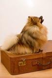 Pomeranian Spitz Stockbild