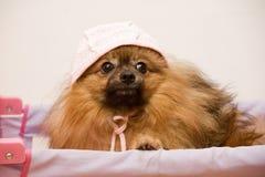 Pomeranian Spitz Stockfoto