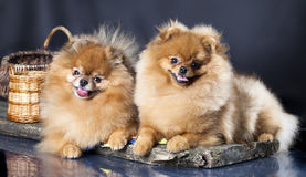 Pomeranian spitz Royalty Free Stock Photo