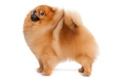 Pomeranian spitz arkivfoto