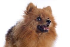 Pomeranian spitz fotografering för bildbyråer