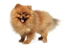 Pomeranian Spitz1 Στοκ φωτογραφίες με δικαίωμα ελεύθερης χρήσης