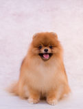 Pomeranian spitz Royalty Free Stock Photography
