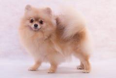 Free Pomeranian Spitz Stock Images - 8907114