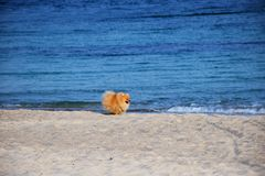 Pomeranian Spitz little dog stock image