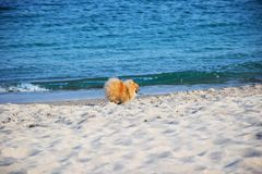 Pomeranian Spitz little dog royalty free stock photography