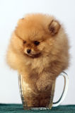 A pomeranian spitz in a beer glass Stock Images
