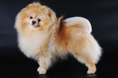 Pomeranian spitz on black background Royalty Free Stock Photography
