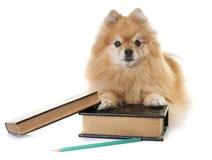 Pomeranian spitz and books stock photography