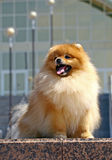 Pomeranian spitz with building Stock Image