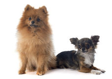 Pomeranian spitz and chihuahua Stock Images
