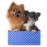 Pomeranian spitz and chihuahua Royalty Free Stock Photos