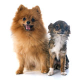 Pomeranian spitz and chihuahua Royalty Free Stock Image