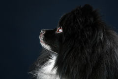 Pomeranian spitz. Close-up portrait Royalty Free Stock Photo