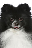 Pomeranian spitz. Close-up portrait Stock Photos