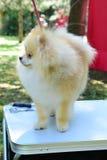 Pomeranian spitz. Decorative dog breed. pom pom Stock Photo